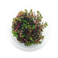 Rotala Colorata Rotundifolia Tissue Culture Live Aquatic Plant