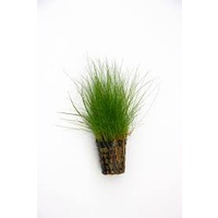 Hairgrass 5cm Pot