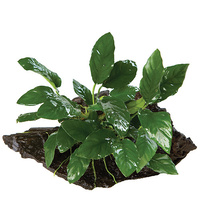 Anubias On Driftwood Large Assorted