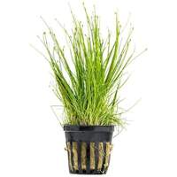 Dwarf Hairgrass 5cm Pot